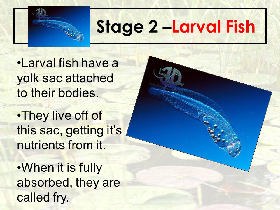 Stage 2 –Larval Fish Larval fish have a yolk sac attached to their bodies. They live off of this sac, getting it's nutrients from it.