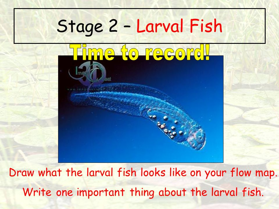 Stage 2 – Larval Fish Time to record!