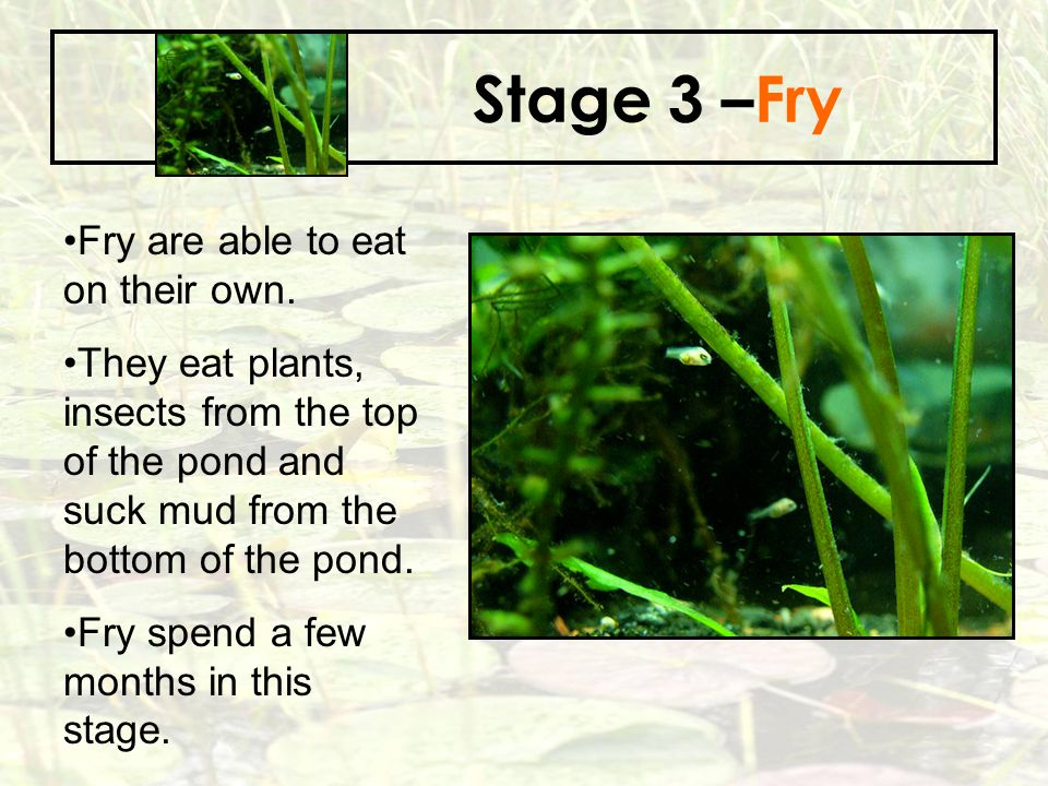 Stage 3 –Fry Fry are able to eat on their own.