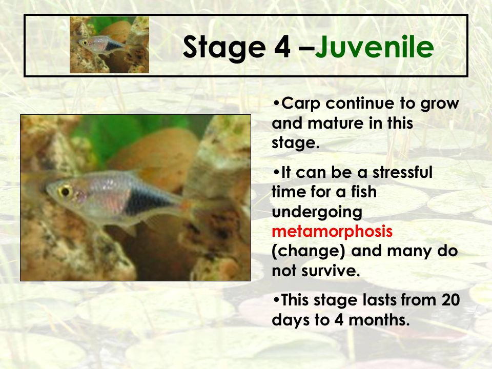 Stage 4 –Juvenile Carp continue to grow and mature in this stage.
