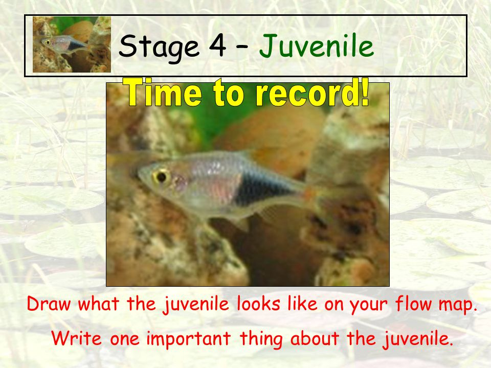 Stage 4 – Juvenile Time to record!