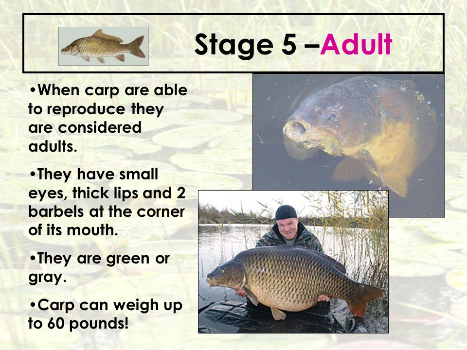 Stage 5 –Adult When carp are able to reproduce they are considered adults.