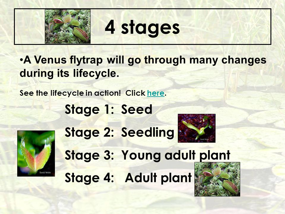 4 stages Stage 1: Seed Stage 2: Seedling Stage 3: Young adult plant
