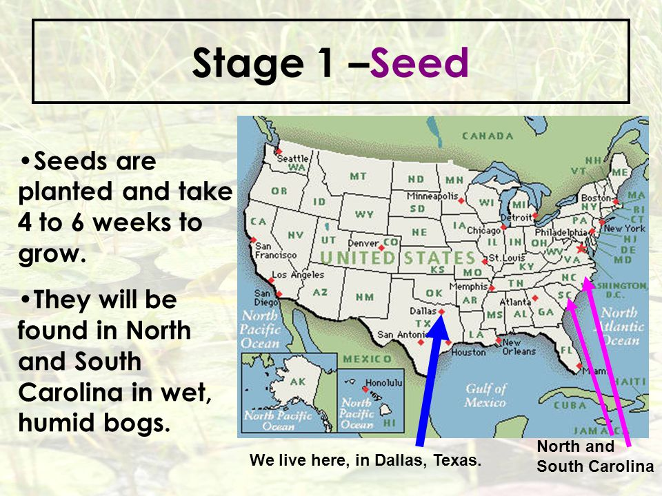 Stage 1 –Seed Seeds are planted and take 4 to 6 weeks to grow.