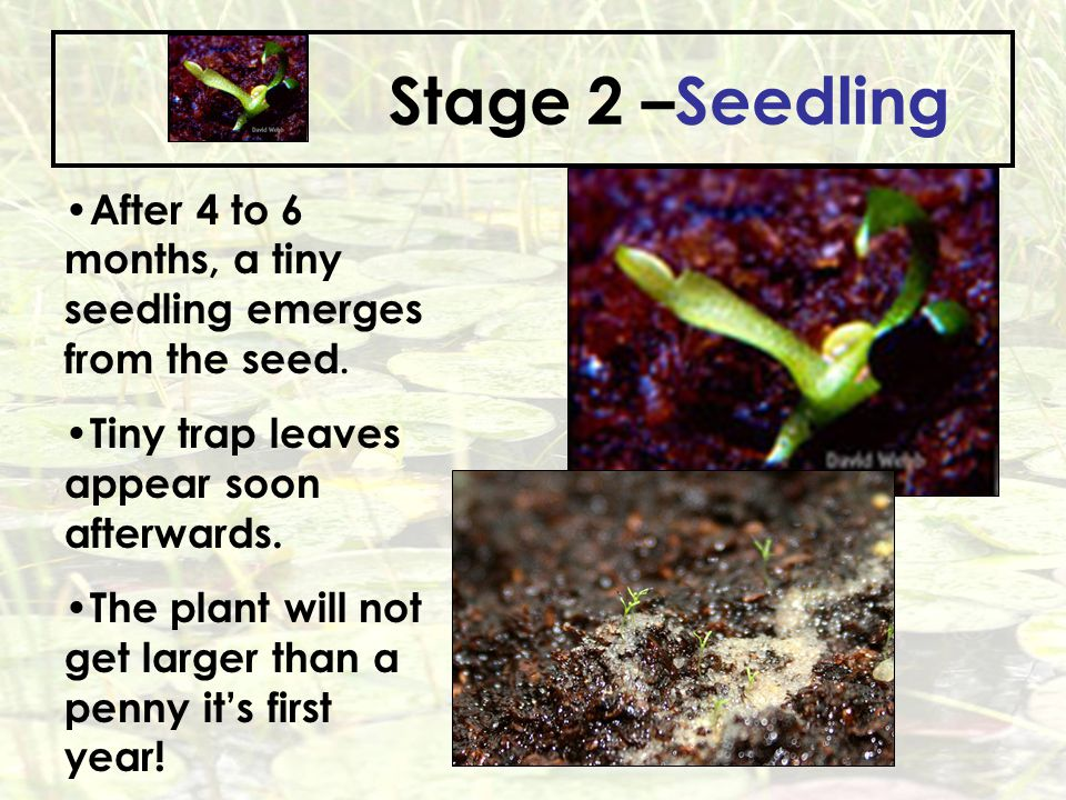 Stage 2 –Seedling After 4 to 6 months, a tiny seedling emerges from the seed. Tiny trap leaves appear soon afterwards.