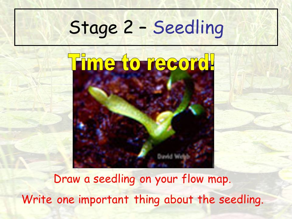 Stage 2 – Seedling Time to record! Draw a seedling on your flow map.