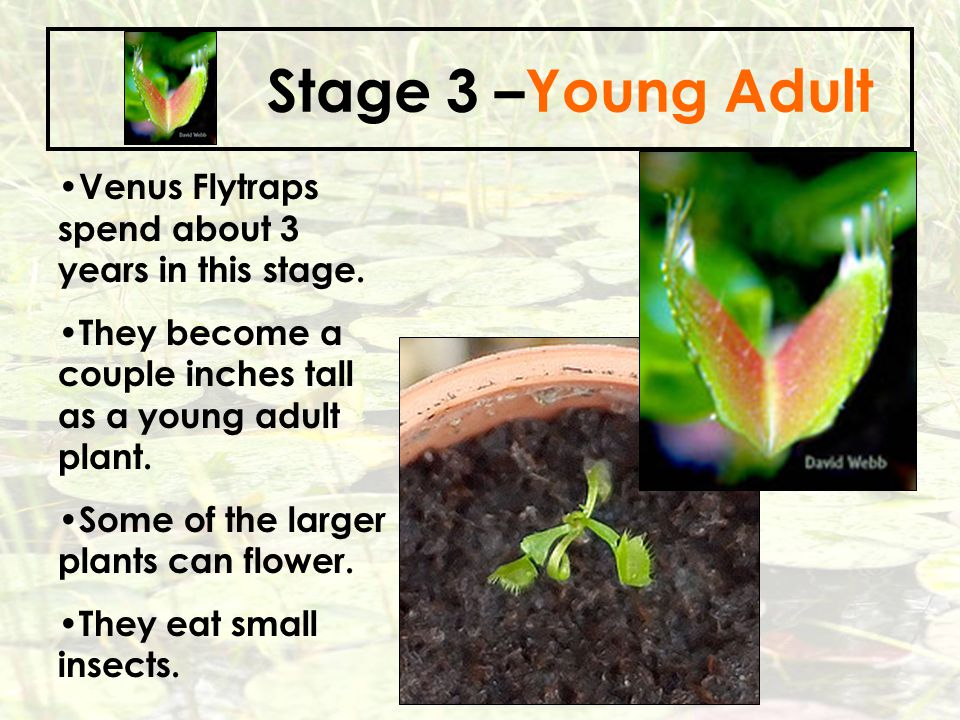 Stage 3 –Young Adult Venus Flytraps spend about 3 years in this stage.