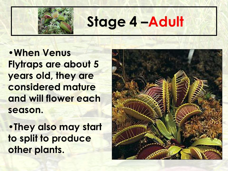 Stage 4 –Adult When Venus Flytraps are about 5 years old, they are considered mature and will flower each season.