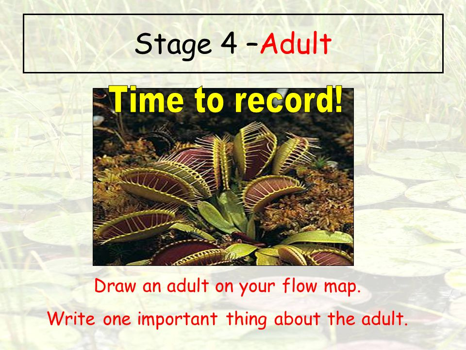 Stage 4 –Adult Time to record! Draw an adult on your flow map.