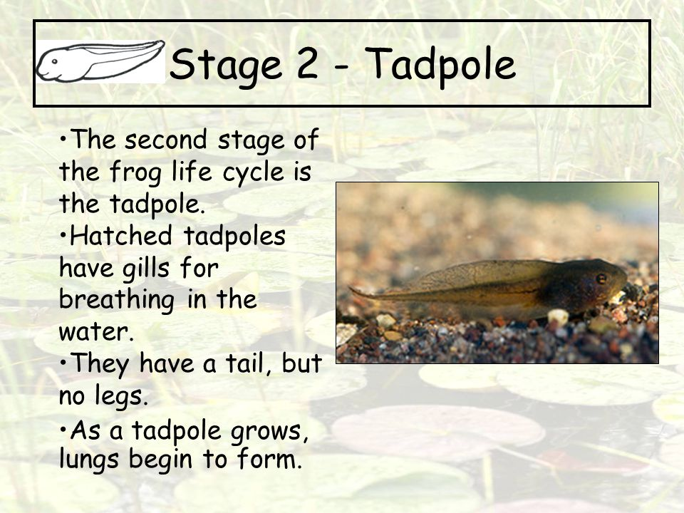 Stage 2 - Tadpole The second stage of the frog life cycle is the tadpole. Hatched tadpoles have gills for breathing in the water.