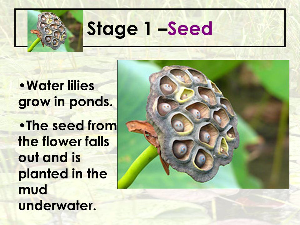 Stage 1 –Seed Water lilies grow in ponds.