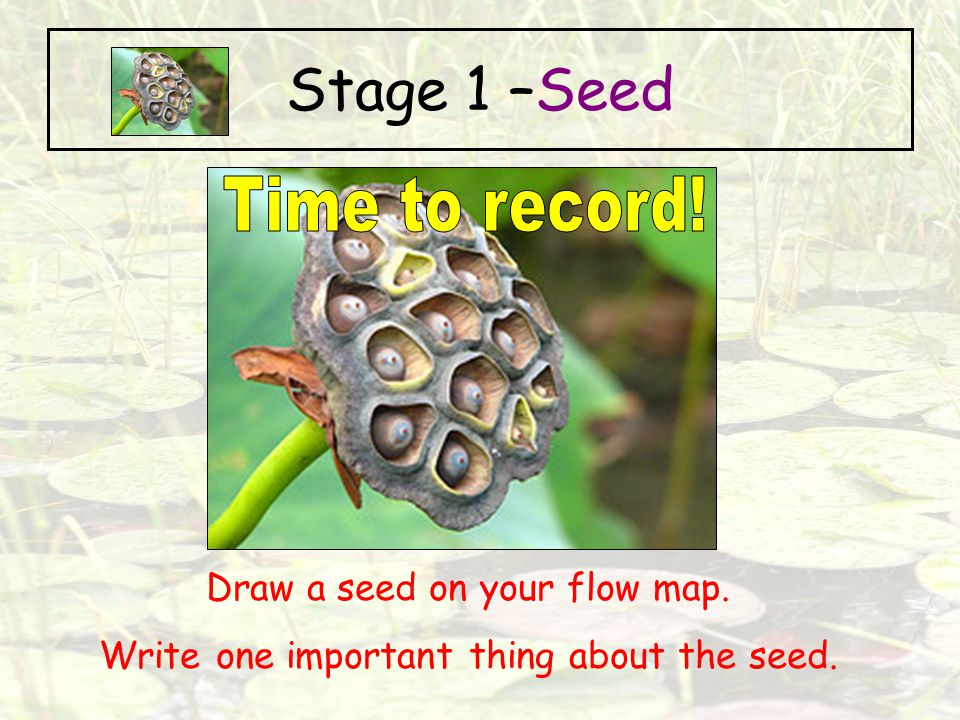 Stage 1 –Seed Time to record! Draw a seed on your flow map.
