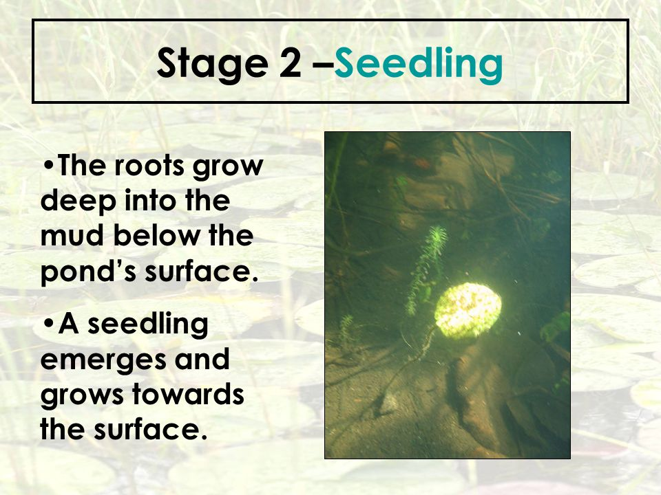 Stage 2 –Seedling The roots grow deep into the mud below the pond's surface.