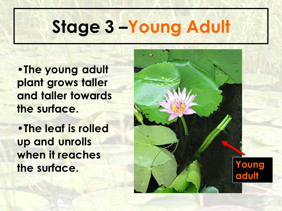 Stage 3 –Young Adult The young adult plant grows taller and taller towards the surface.