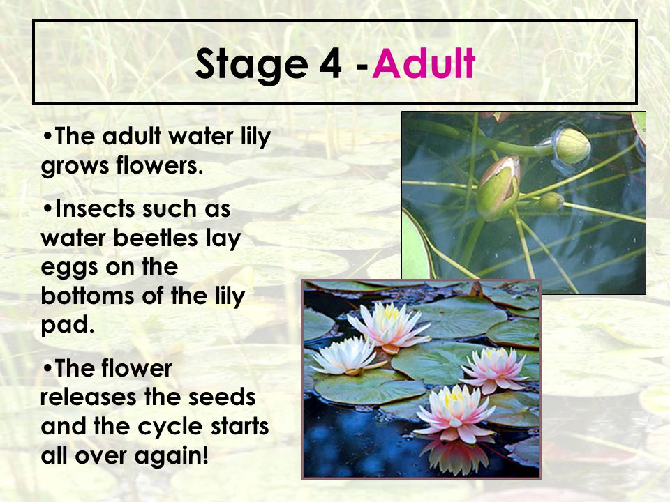 Stage 4 -Adult The adult water lily grows flowers.