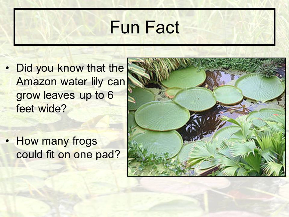 Fun Fact Did you know that the Amazon water lily can grow leaves up to 6 feet wide.