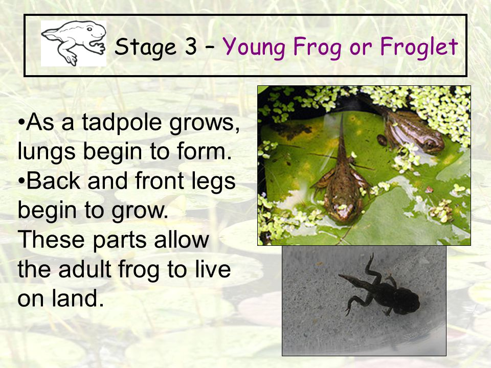 Stage 3 – Young Frog or Froglet