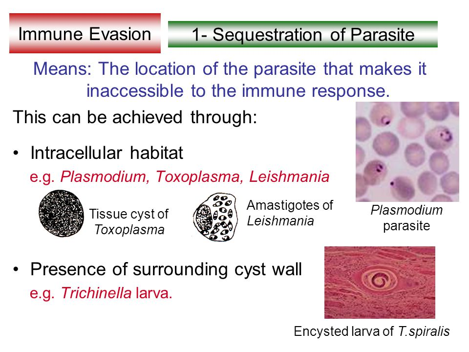 1- Sequestration of Parasite