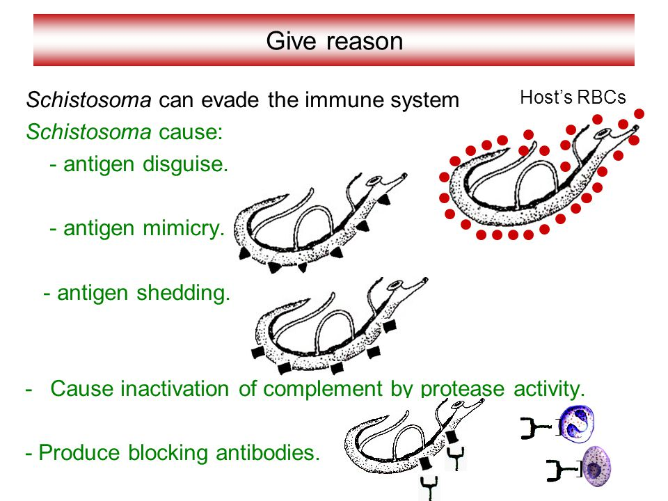 Give reason Schistosoma can evade the immune system Schistosoma cause:
