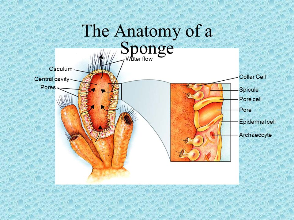 The Anatomy of a Sponge Water flow Osculum Collar Cell Central cavity