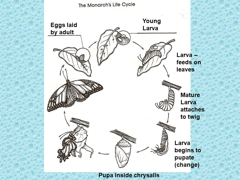 Young Larva Eggs laid by adult. Larva – feeds on leaves. Mature Larva attaches to twig. Larva begins to pupate (change)