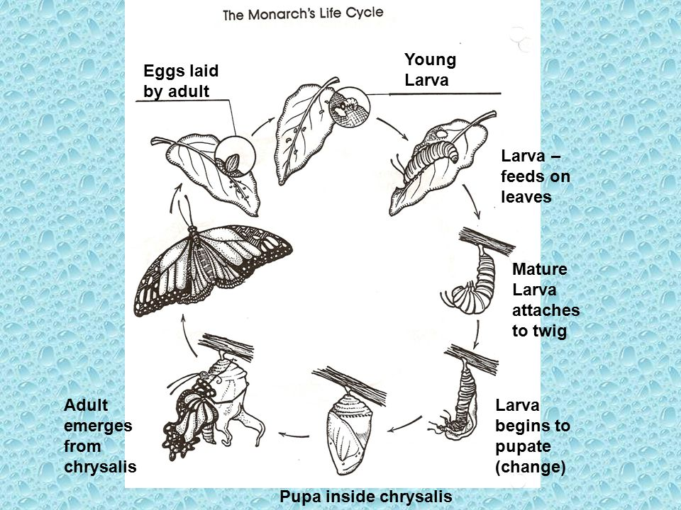 Young Larva Eggs laid by adult. Larva – feeds on leaves. Mature Larva attaches to twig. Adult emerges from chrysalis.