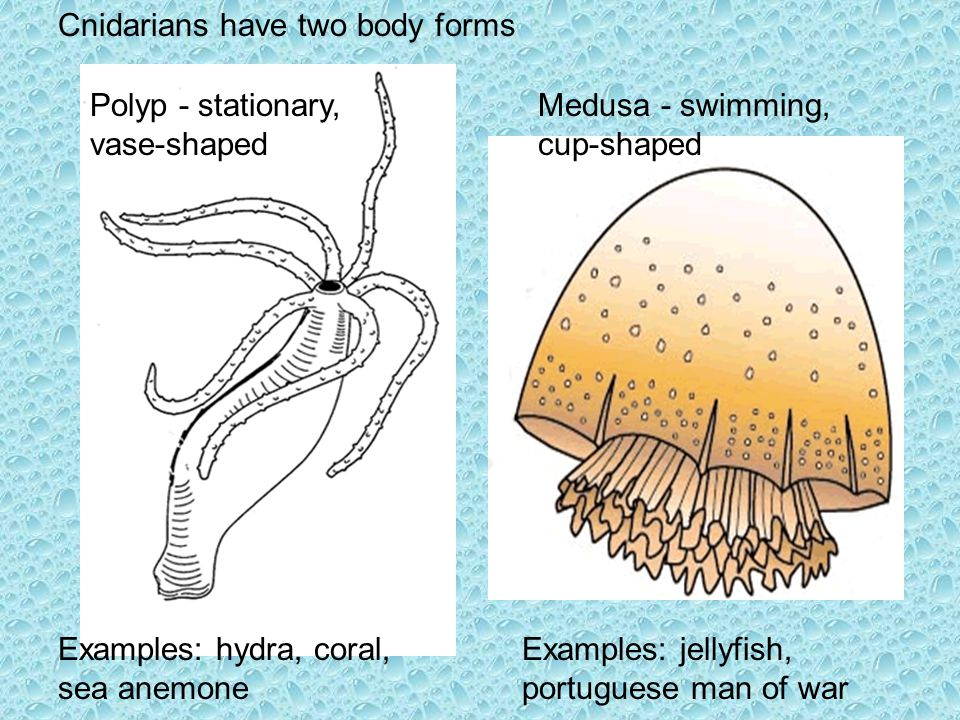 Cnidarians have two body forms