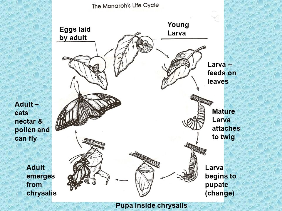 Young Larva Eggs laid by adult. Larva – feeds on leaves. Adult – eats nectar & pollen and can fly.