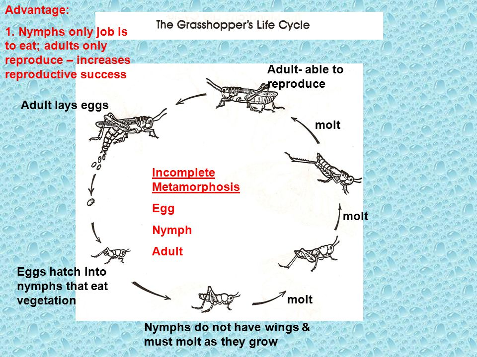 Advantage: 1. Nymphs only job is to eat; adults only reproduce – increases reproductive success. Adult- able to reproduce.