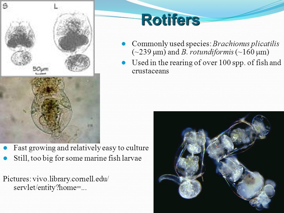 Rotifers Commonly used species: Brachionus plicatilis (~239 mm) and B. rotundiformis (~160 mm)