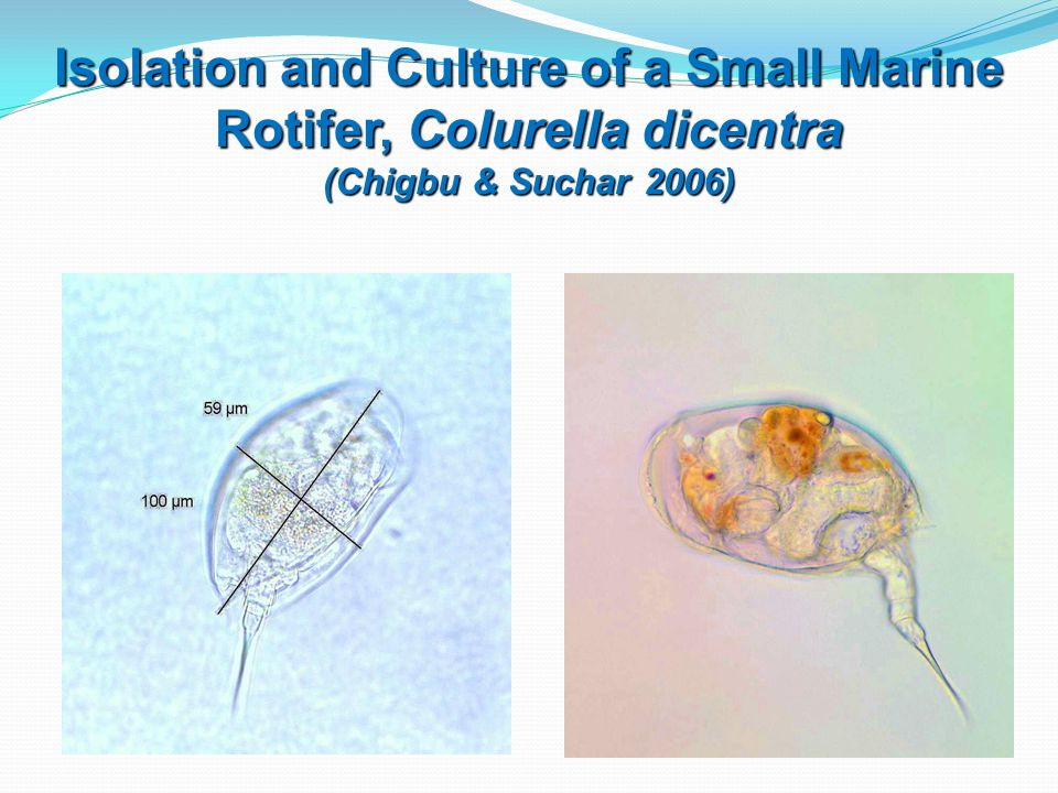 Isolation and Culture of a Small Marine Rotifer, Colurella dicentra