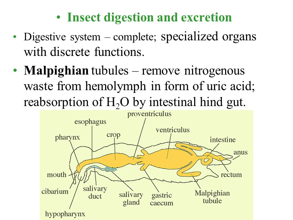 Insect digestion and excretion