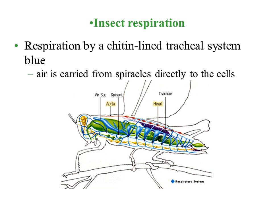 Respiration by a chitin-lined tracheal system blue .