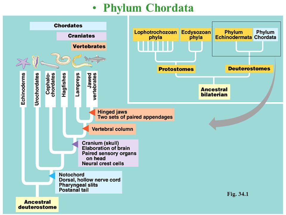 Phylum Chordata Fig. 34.1
