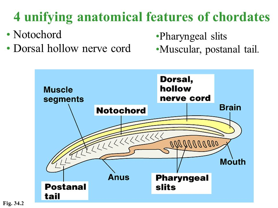 4 unifying anatomical features of chordates