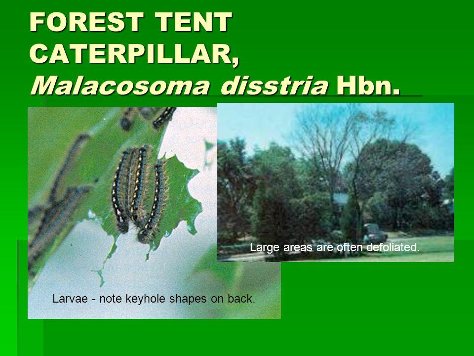 FOREST TENT CATERPILLAR, Malacosoma disstria Hbn.