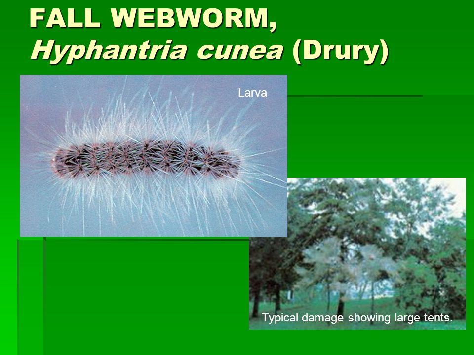FALL WEBWORM, Hyphantria cunea (Drury)