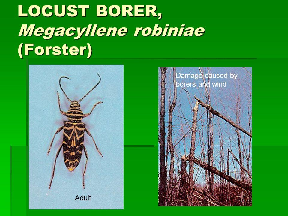 LOCUST BORER, Megacyllene robiniae (Forster)