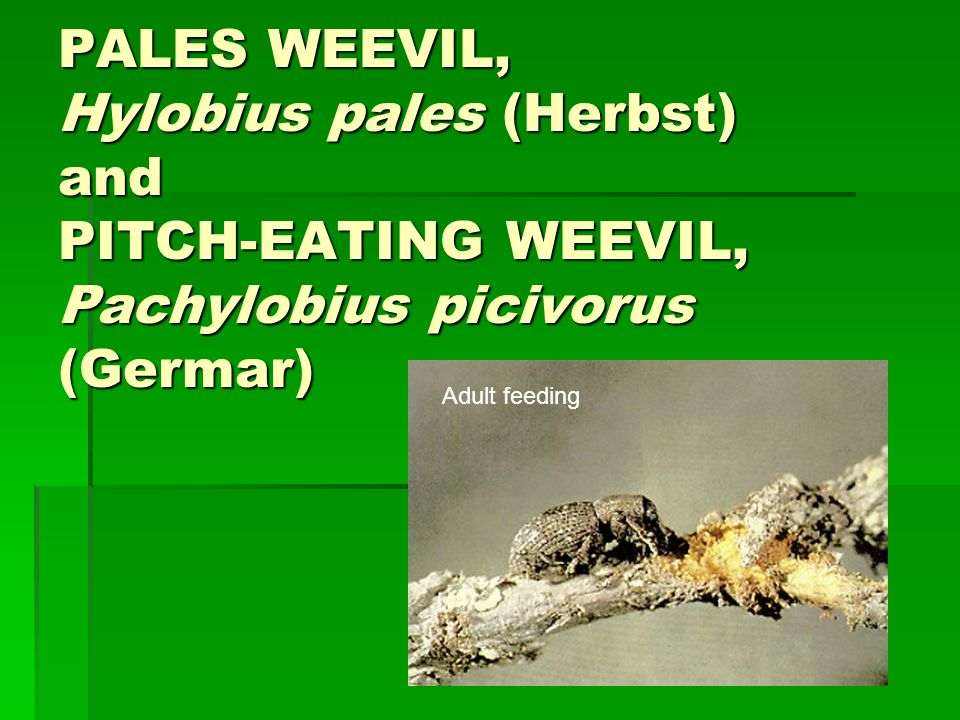 PALES WEEVIL, Hylobius pales (Herbst) and PITCH-EATING WEEVIL, Pachylobius picivorus (Germar)
