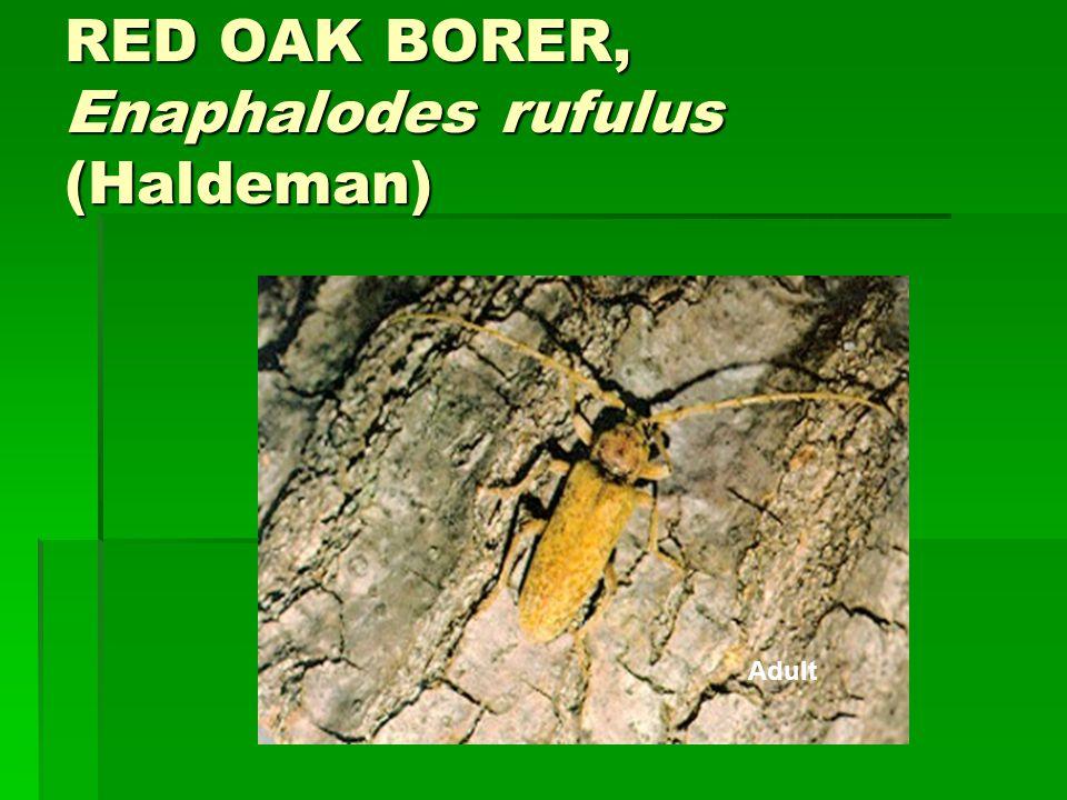 RED OAK BORER, Enaphalodes rufulus (Haldeman)