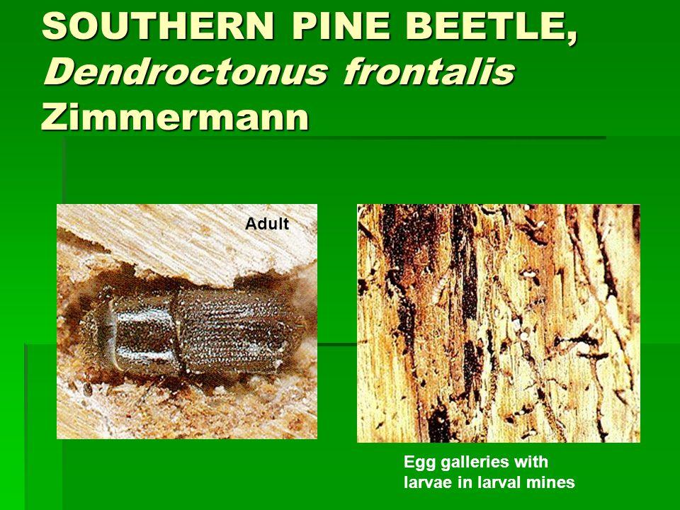 SOUTHERN PINE BEETLE, Dendroctonus frontalis Zimmermann