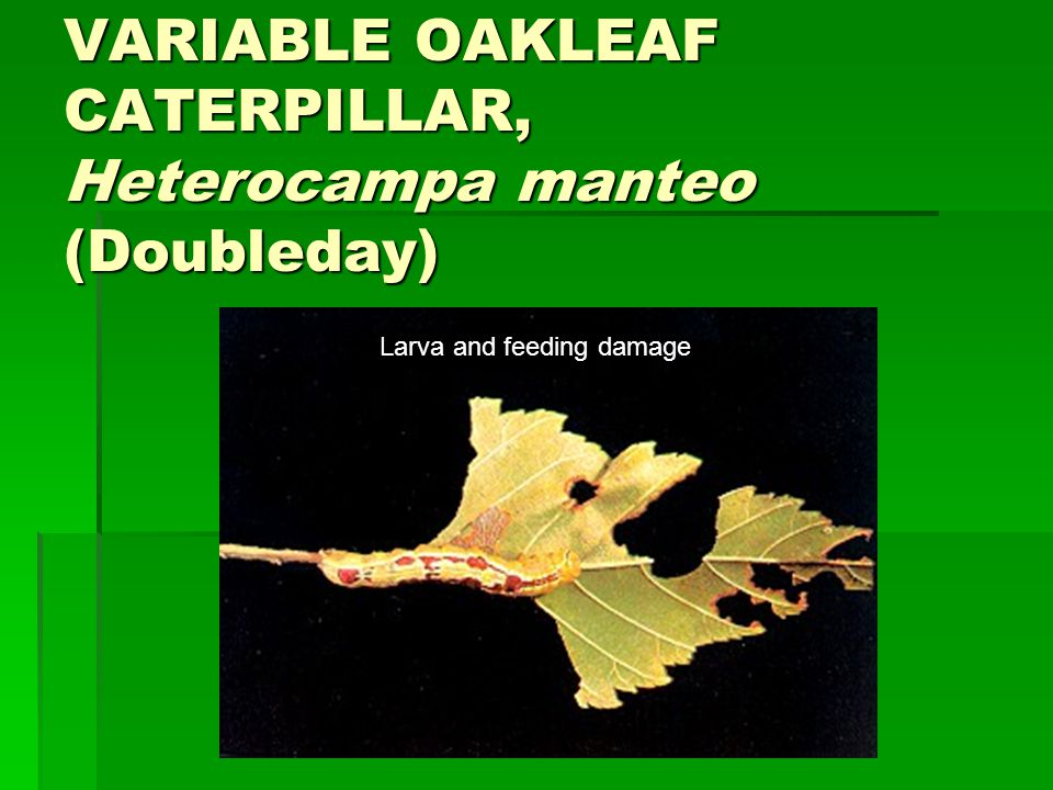 VARIABLE OAKLEAF CATERPILLAR, Heterocampa manteo (Doubleday)