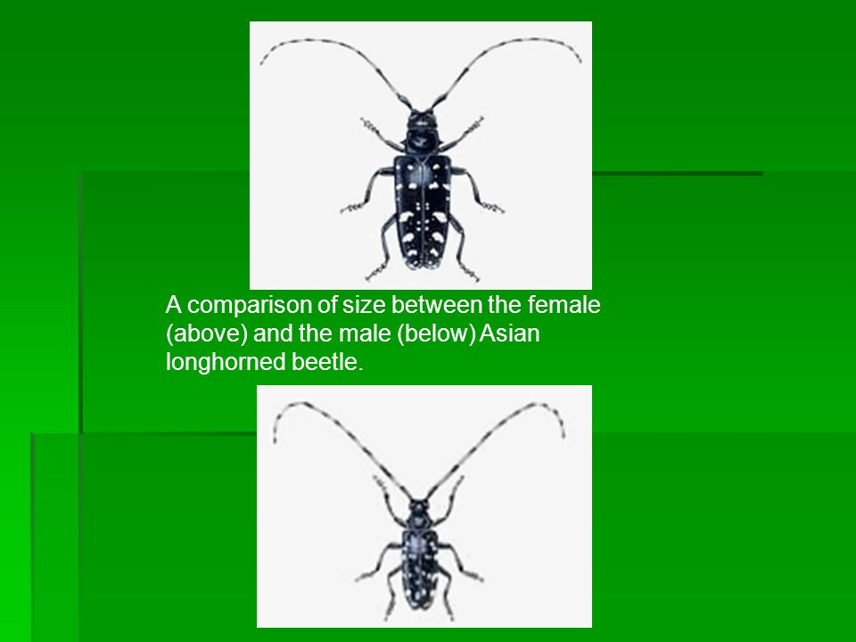 A comparison of size between the female (above) and the male (below) Asian longhorned beetle.