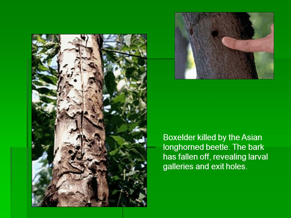 Boxelder killed by the Asian longhorned beetle.