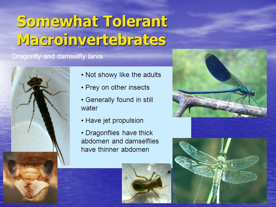 Somewhat Tolerant Macroinvertebrates