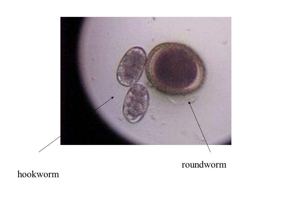roundworm hookworm