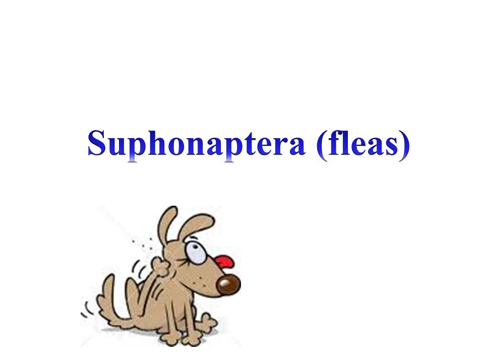 Suphonaptera (fleas)