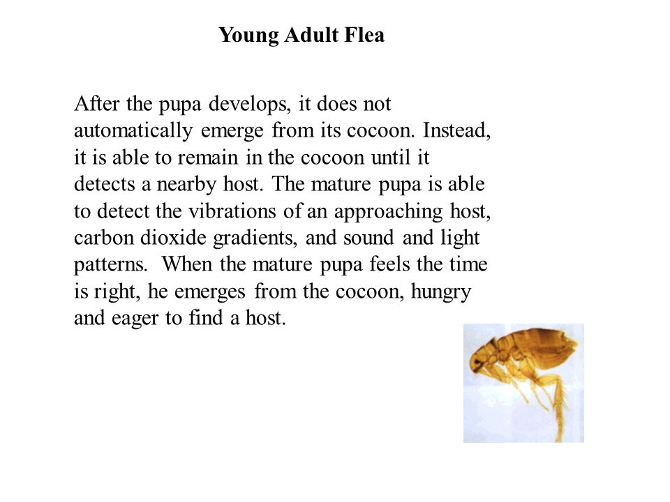 Young Adult Flea