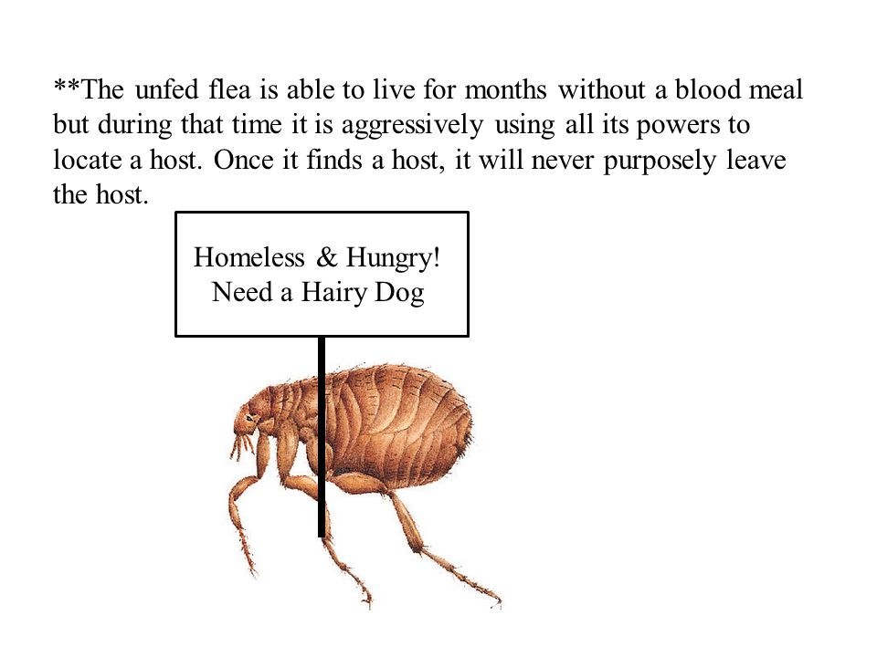 **The unfed flea is able to live for months without a blood meal but during that time it is aggressively using all its powers to locate a host. Once it finds a host, it will never purposely leave the host.