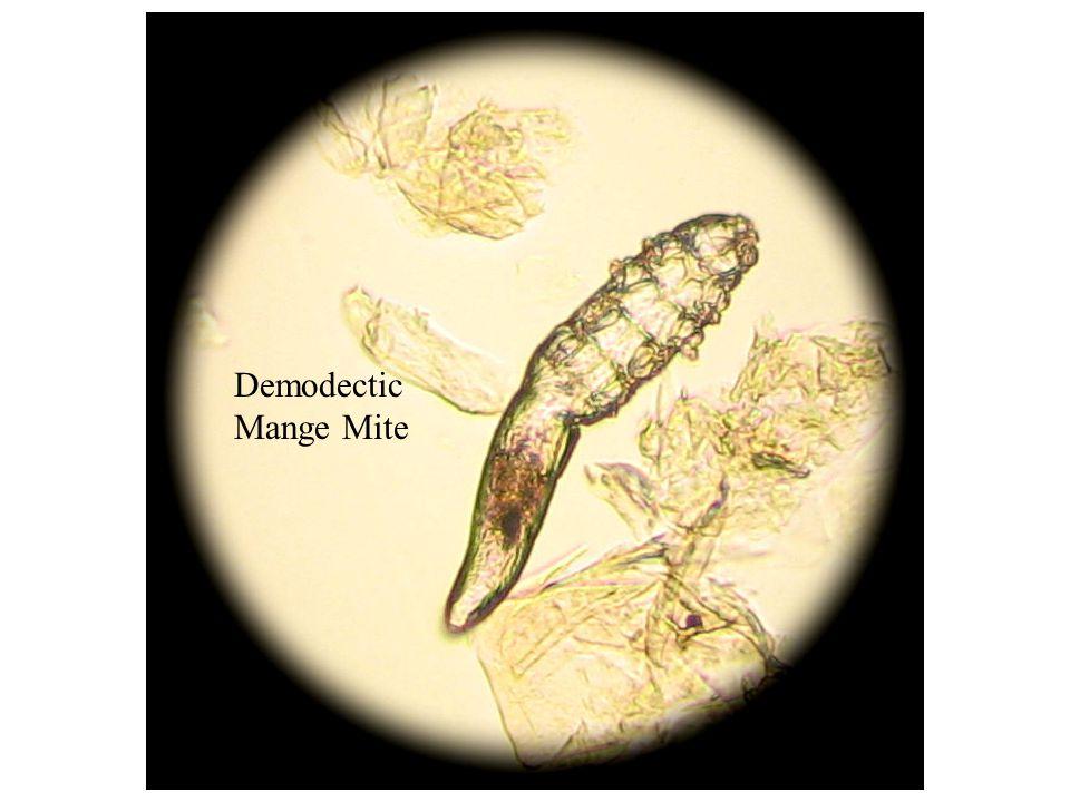 Demodectic Mange Mite